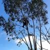 démontage d'un eucalyptus